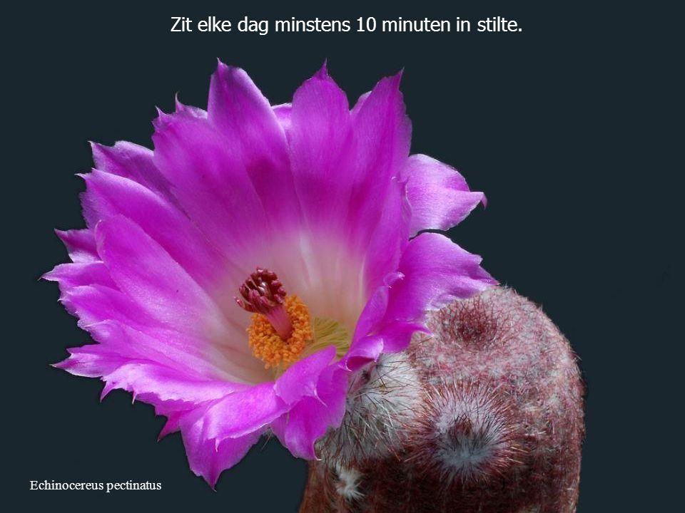 Echinocereus pectinatus Zit elke dag minstens 10 minuten in stilte.