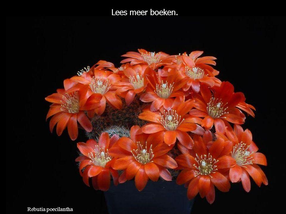 Mammillaria slevinii Wat anderen over jou denken is jouw zaak niet.