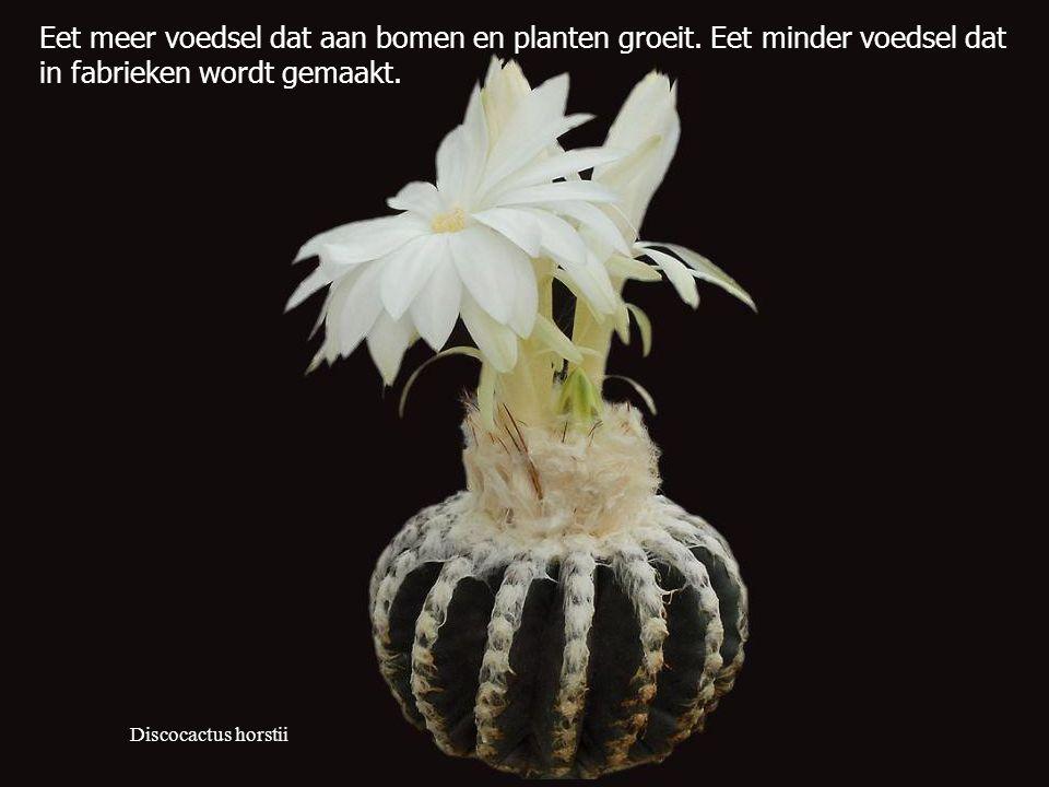 Discocactus horstii Eet meer voedsel dat aan bomen en planten groeit.
