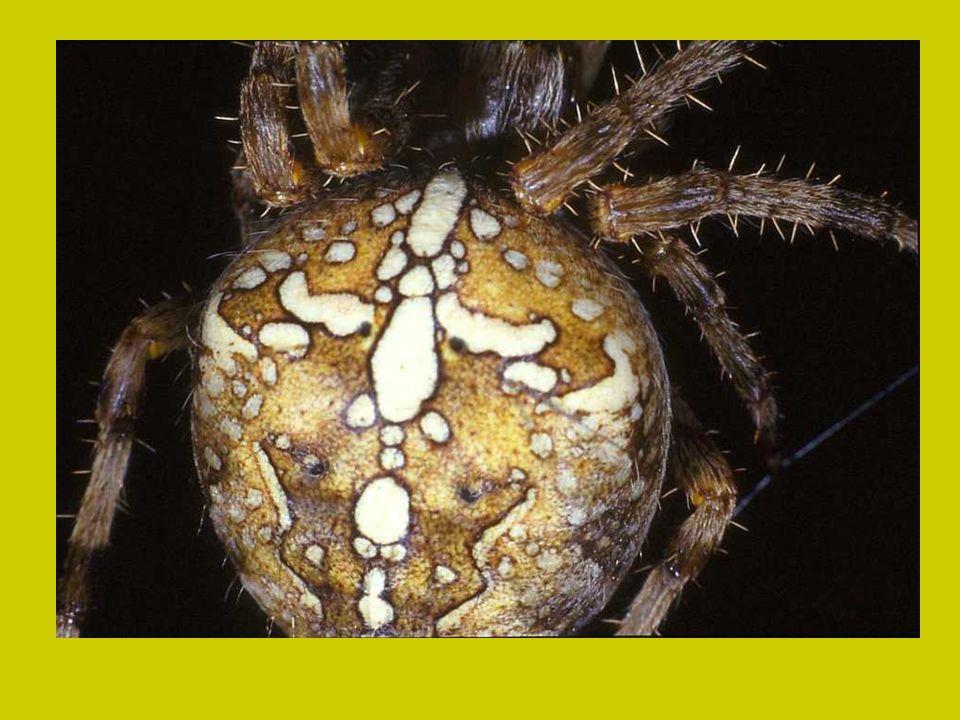 Een kruisspin heeft acht ogen. Het zijn de zwarte puntjes op de kop