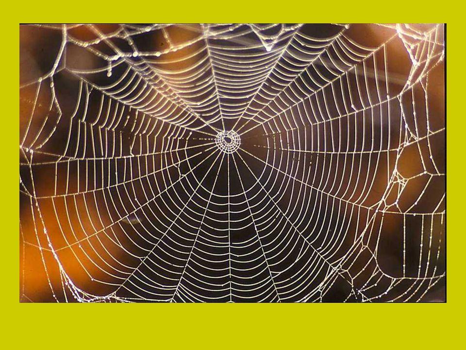 En uiteindelijk komen daar tussen de kleverige spiraal draden met de kleverige kleine druppeltjes Je kunt de spindraad 30-40 % uitrekken voor deze bre