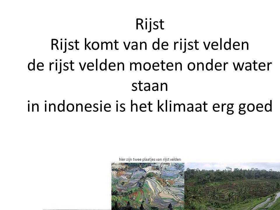 Rijst Rijst komt van de rijst velden de rijst velden moeten onder water staan in indonesie is het klimaat erg goed hier zijn twee plaatjes van rijst v