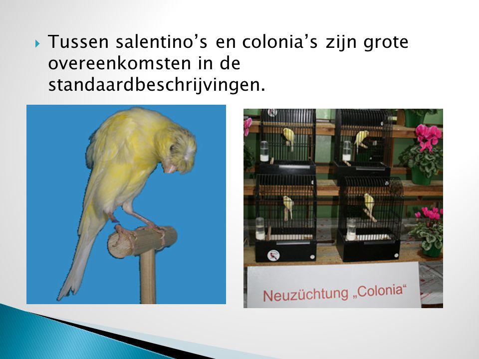  Tussen salentino's en colonia's zijn grote overeenkomsten in de standaardbeschrijvingen.