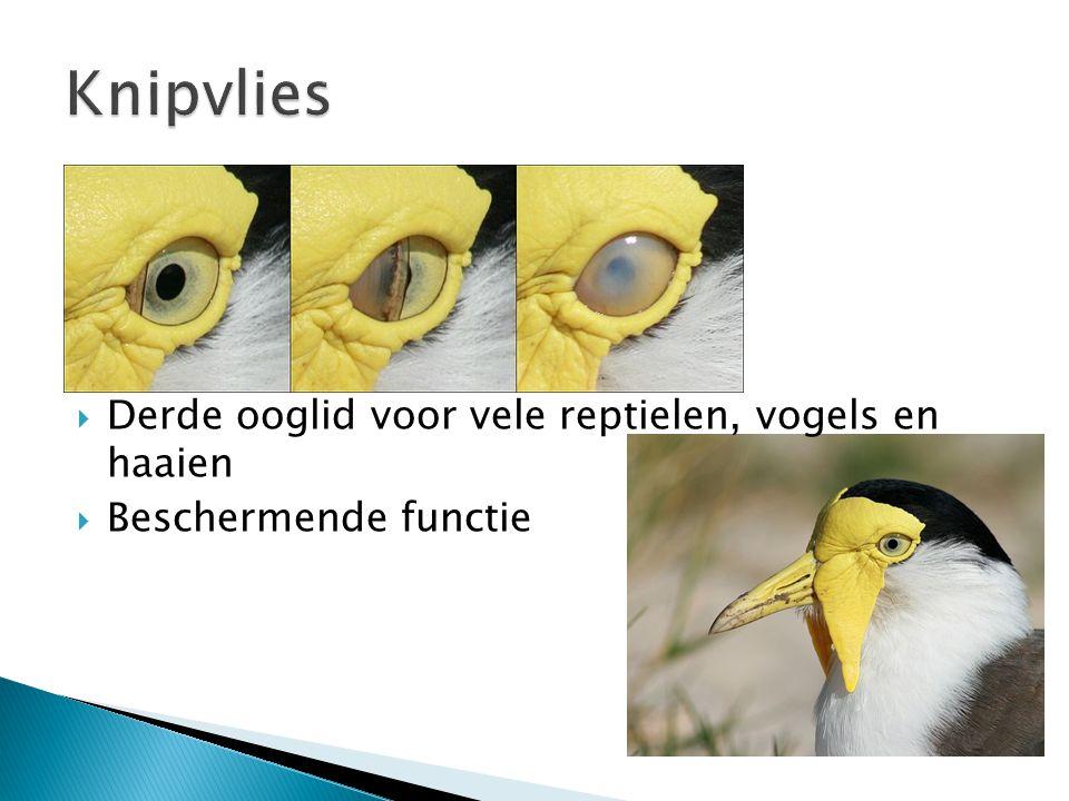  Derde ooglid voor vele reptielen, vogels en haaien  Beschermende functie