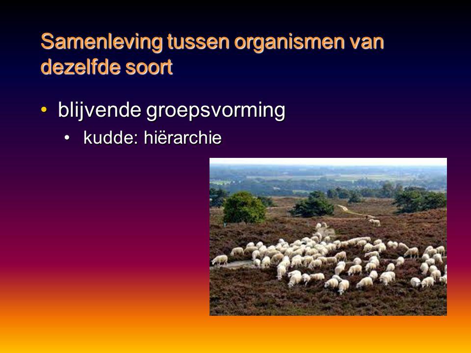 •blijvende groepsvorming • kudde: hiërarchie Samenleving tussen organismen van dezelfde soort