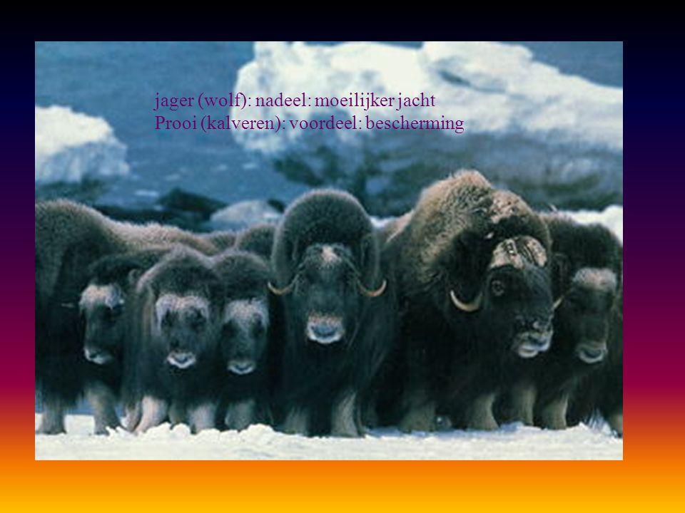 jager (wolf): nadeel: moeilijker jacht Prooi (kalveren): voordeel: bescherming