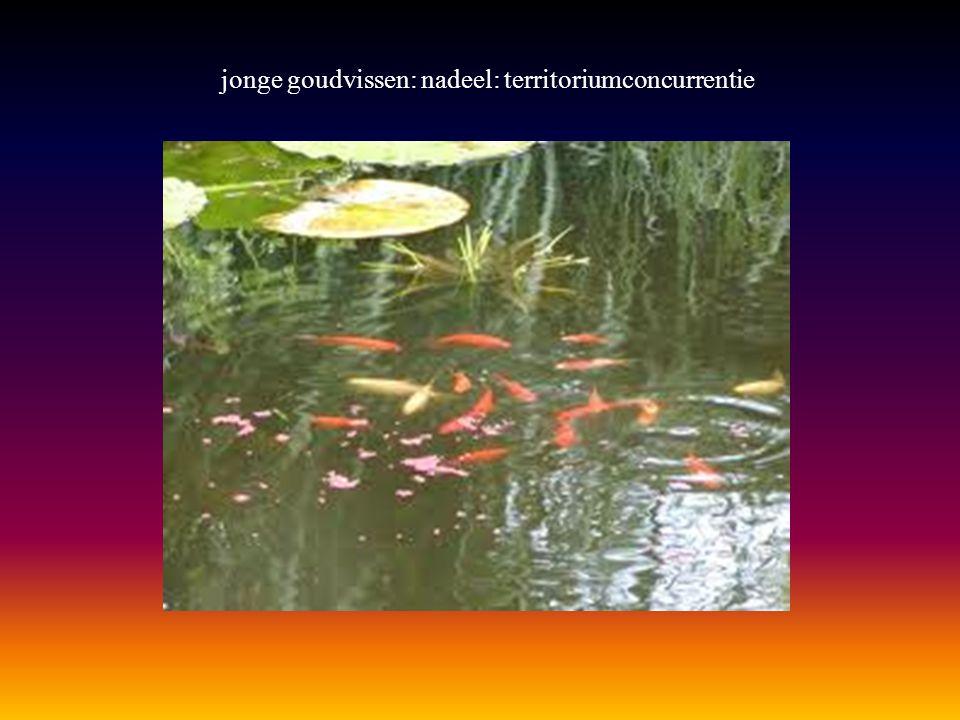 jonge goudvissen: nadeel: territoriumconcurrentie