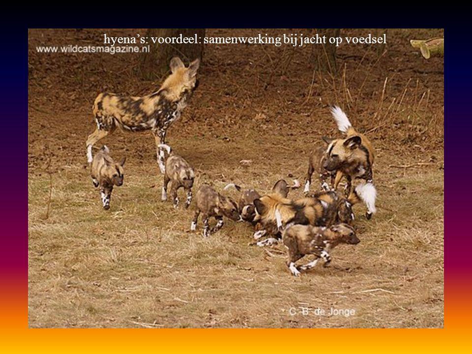 hyena's: voordeel: samenwerking bij jacht op voedsel