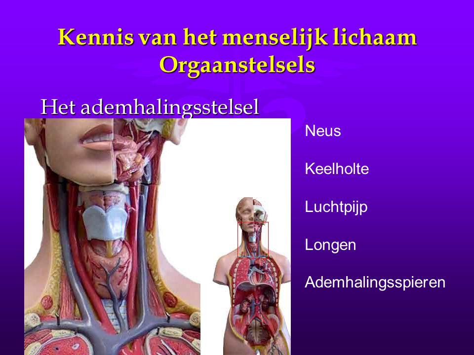Kennis van het menselijk lichaam Orgaanstelsels Het ademhalingsstelsel Neus Keelholte Luchtpijp Longen Ademhalingsspieren