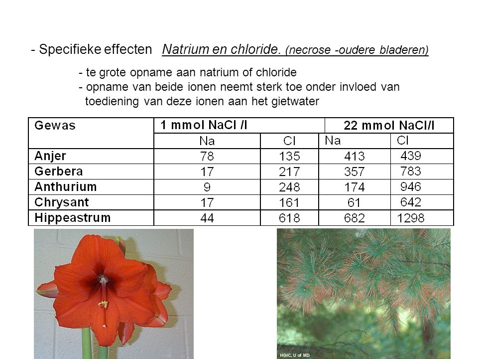 - Specifieke effecten Natrium en chloride. (necrose -oudere bladeren) - te grote opname aan natrium of chloride - opname van beide ionen neemt sterk t