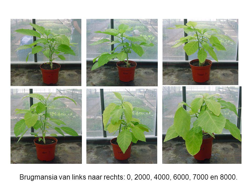 Brugmansia van links naar rechts: 0, 2000, 4000, 6000, 7000 en 8000.