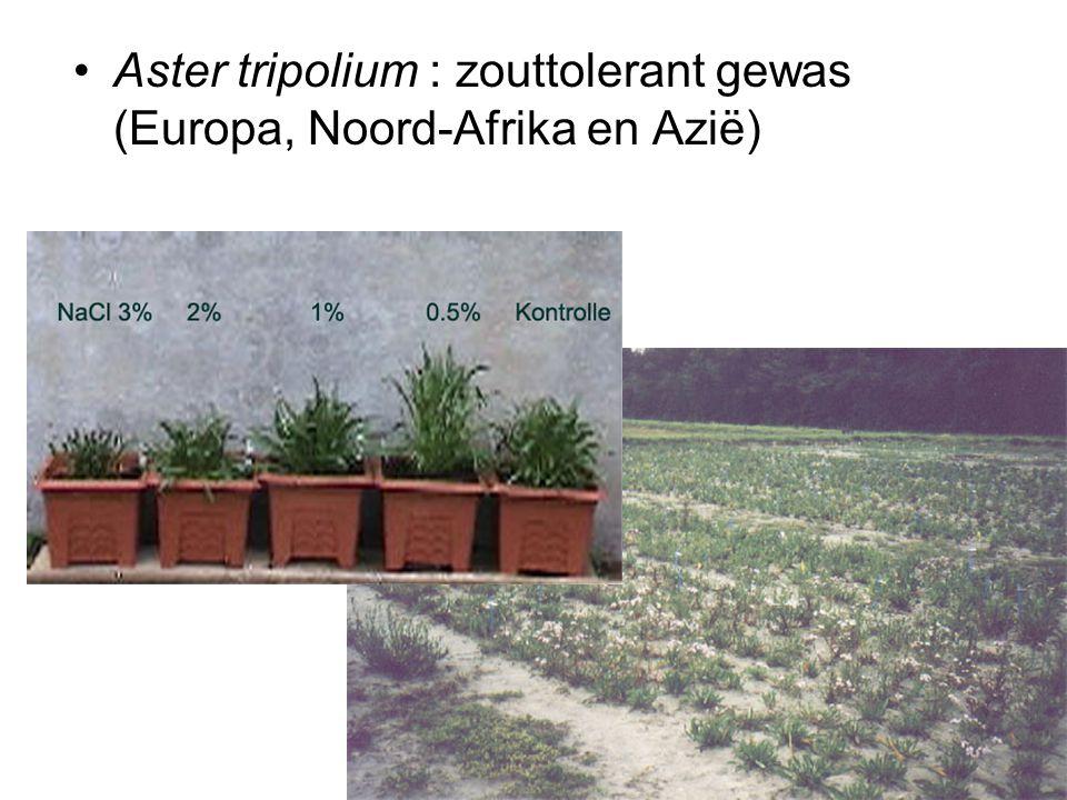 •Aster tripolium : zouttolerant gewas (Europa, Noord-Afrika en Azië)