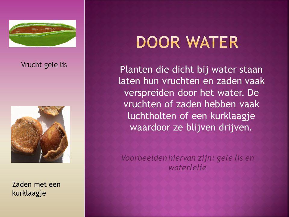 Planten die dicht bij water staan laten hun vruchten en zaden vaak verspreiden door het water. De vruchten of zaden hebben vaak luchtholten of een kur