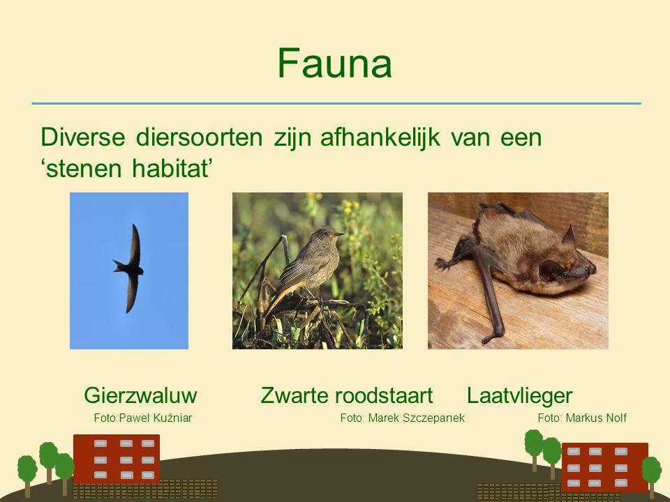 Fauna Diverse diersoorten zijn afhankelijk van een 'stenen habitat' Gierzwaluw Zwarte roodstaart Laatvlieger Foto:Pawel Kuźniar Foto: Marek Szczepanek