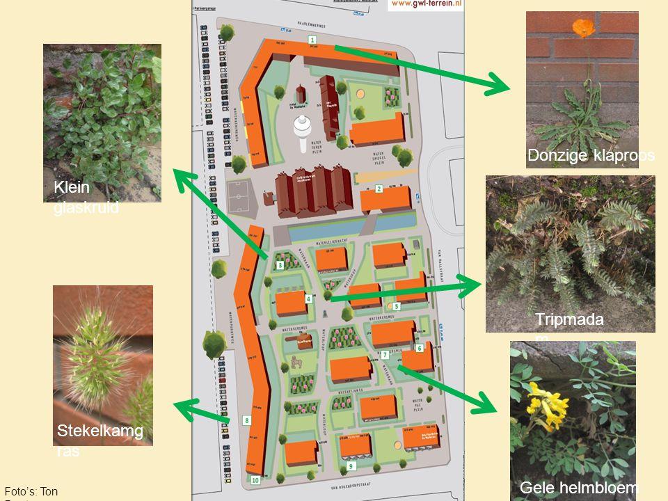 Bijzondere planten op het terrein Tripmada m Donzige klaproos Gele helmbloem Stekelkamg ras Klein glaskruid Foto's: Ton Denters