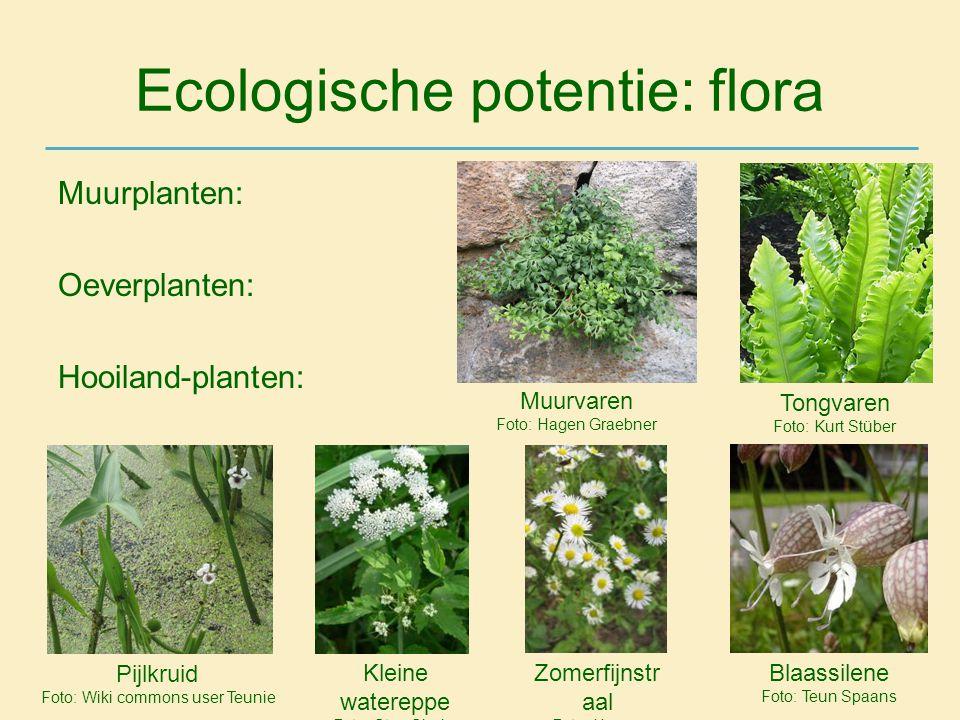 Ecologische potentie: flora Muurplanten: Oeverplanten: Hooiland-planten: Tongvaren Foto: Kurt Stüber Pijlkruid Foto: Wiki commons user Teunie Kleine w