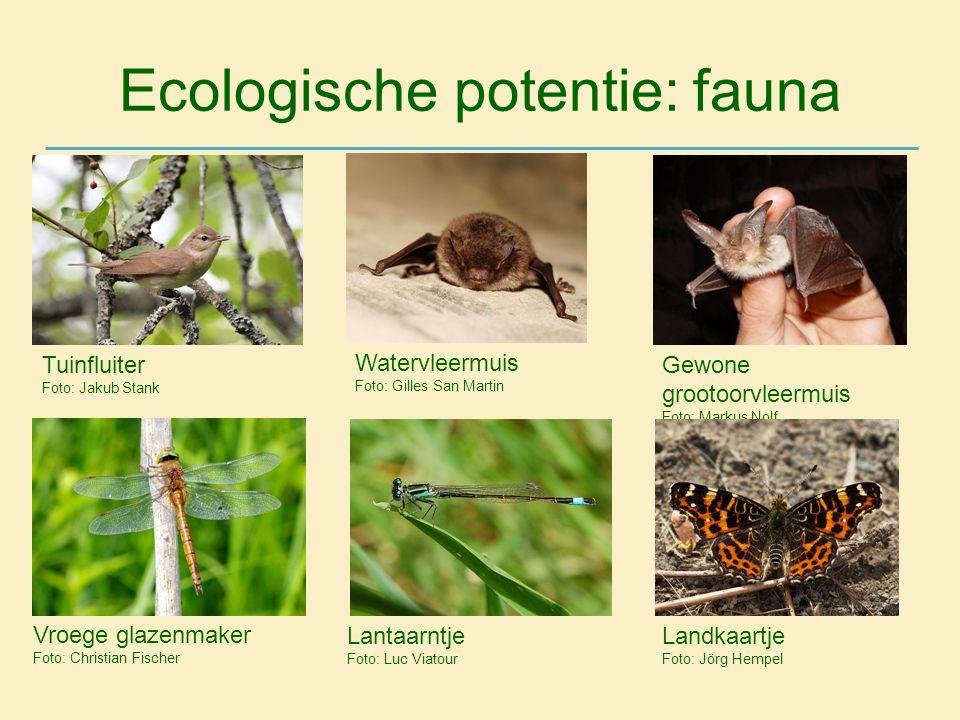 Ecologische potentie: fauna Tuinfluiter Foto: Jakub Stank Watervleermuis Foto: Gilles San Martin Gewone grootoorvleermuis Foto: Markus Nolf Vroege gla
