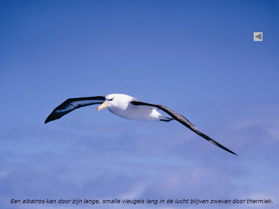 Een albatros kan door zijn lange, smalle vleugels lang in de lucht blijven zweven door thermiek.