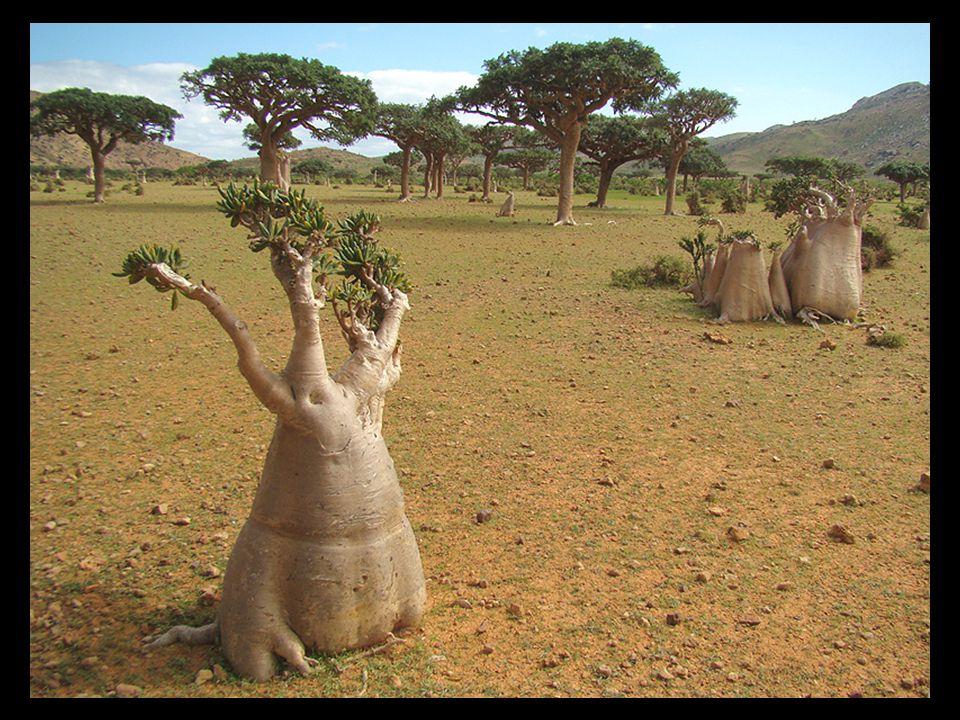 Het eiland Socotra, dat deel uuitmaakt van een archipel van vier eilanden in de Indische Oceaan, werd 6 of 7 miljoen jaren geleden geografisch geschei