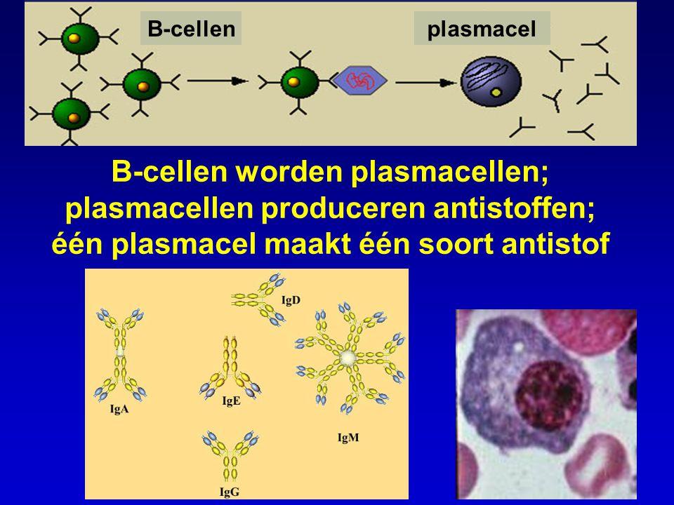 B-cellen worden plasmacellen; plasmacellen produceren antistoffen; één plasmacel maakt één soort antistof B-cellenplasmacel
