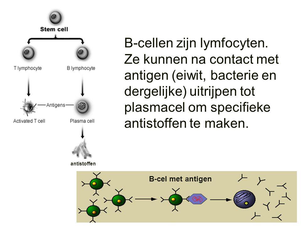 B-cellen zijn lymfocyten. Ze kunnen na contact met antigen (eiwit, bacterie en dergelijke) uitrijpen tot plasmacel om specifieke antistoffen te maken.