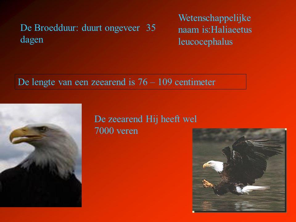 De Broedduur: duurt ongeveer 35 dagen De lengte van een zeearend is 76 – 109 centimeter Wetenschappelijke naam is:Haliaeetus leucocephalus De zeearend