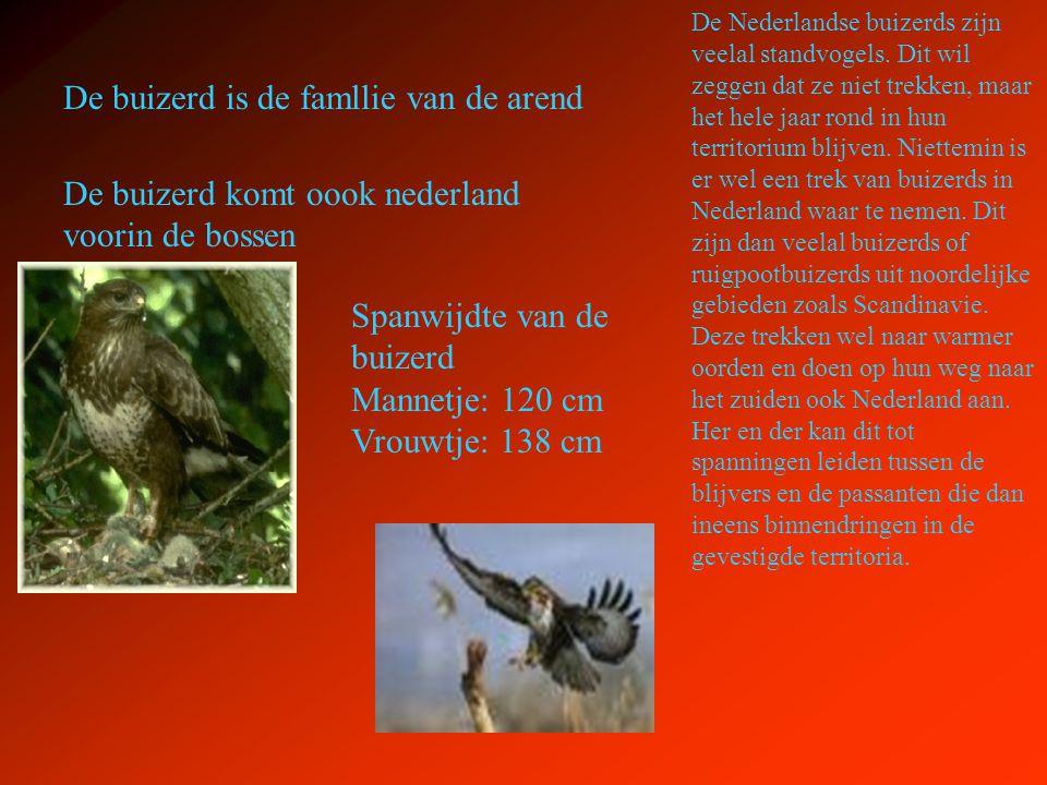 De buizerd is de famllie van de arend De buizerd komt oook nederland voorin de bossen De Nederlandse buizerds zijn veelal standvogels. Dit wil zeggen