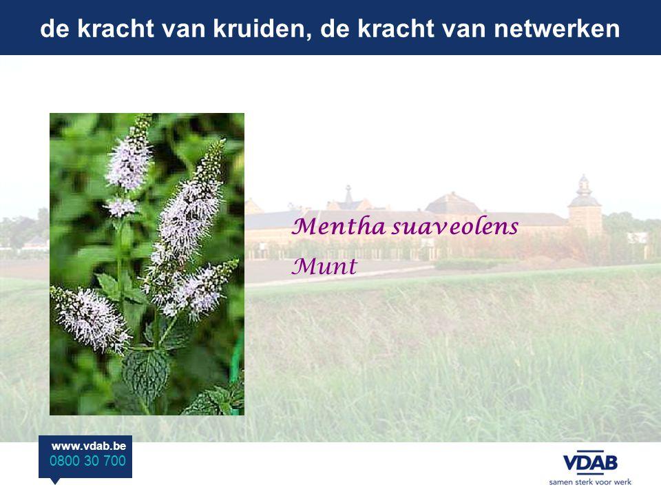 de kracht van kruiden, de kracht van netwerken www.vdab.be 0800 30 700 Mentha suaveolens Munt