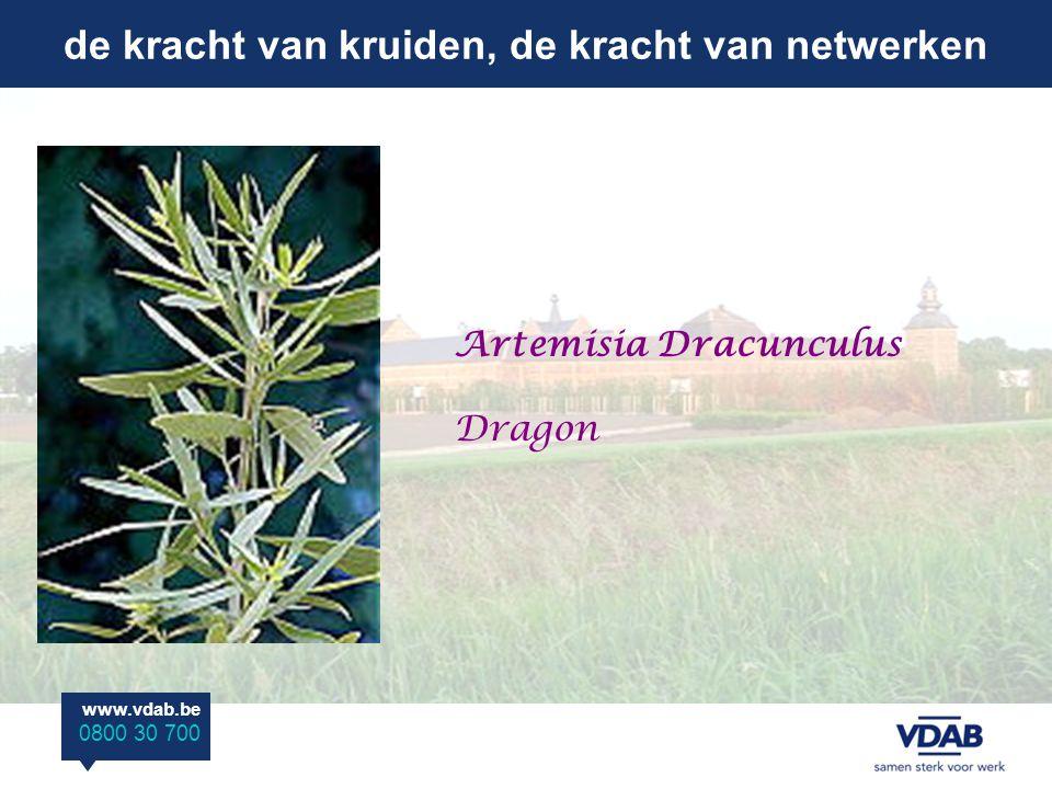 de kracht van kruiden, de kracht van netwerken www.vdab.be 0800 30 700 Artemisia Dracunculus Dragon