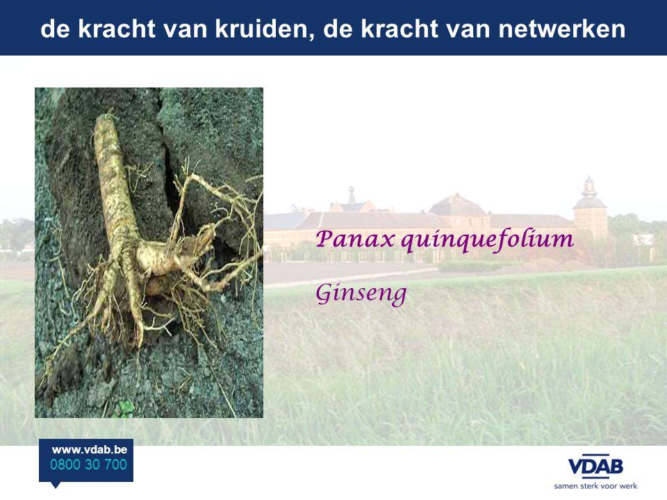 de kracht van kruiden, de kracht van netwerken www.vdab.be 0800 30 700 Panax quinquefolium Ginseng