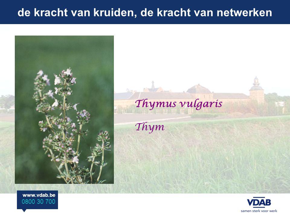 de kracht van kruiden, de kracht van netwerken www.vdab.be 0800 30 700 Thymus vulgaris Thym