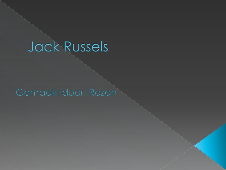 ♫ Jack Russel ♫ Herkomst van de Jack Russel ♫ Kenmerken ♫ Karakter ♫ Voeding ♫ Huisdier of werkhond