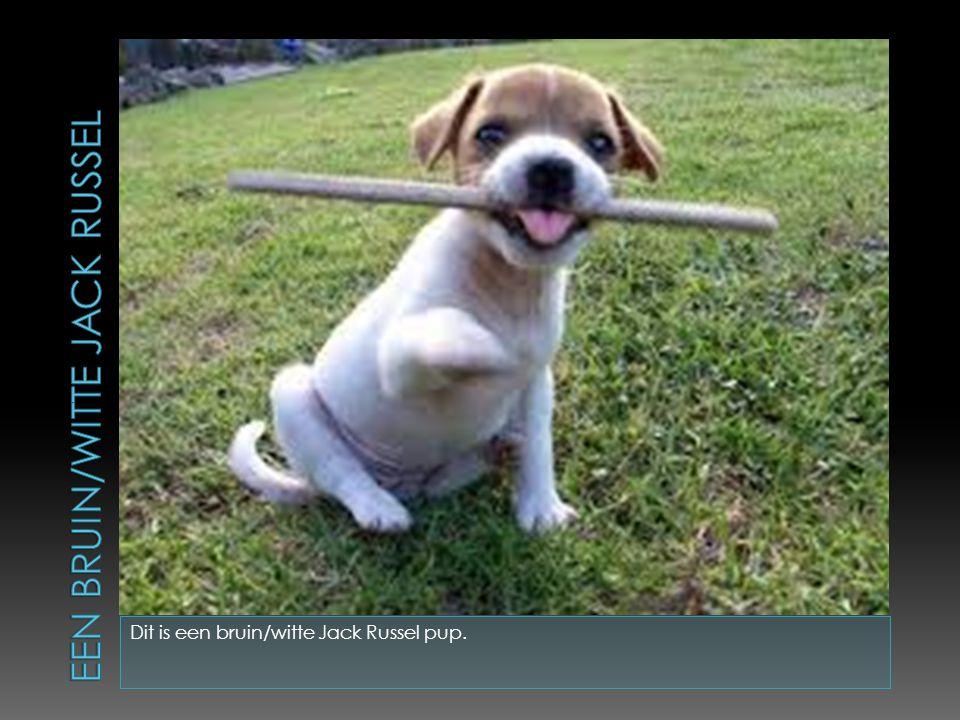 Dit is een bruin/witte Jack Russel pup.