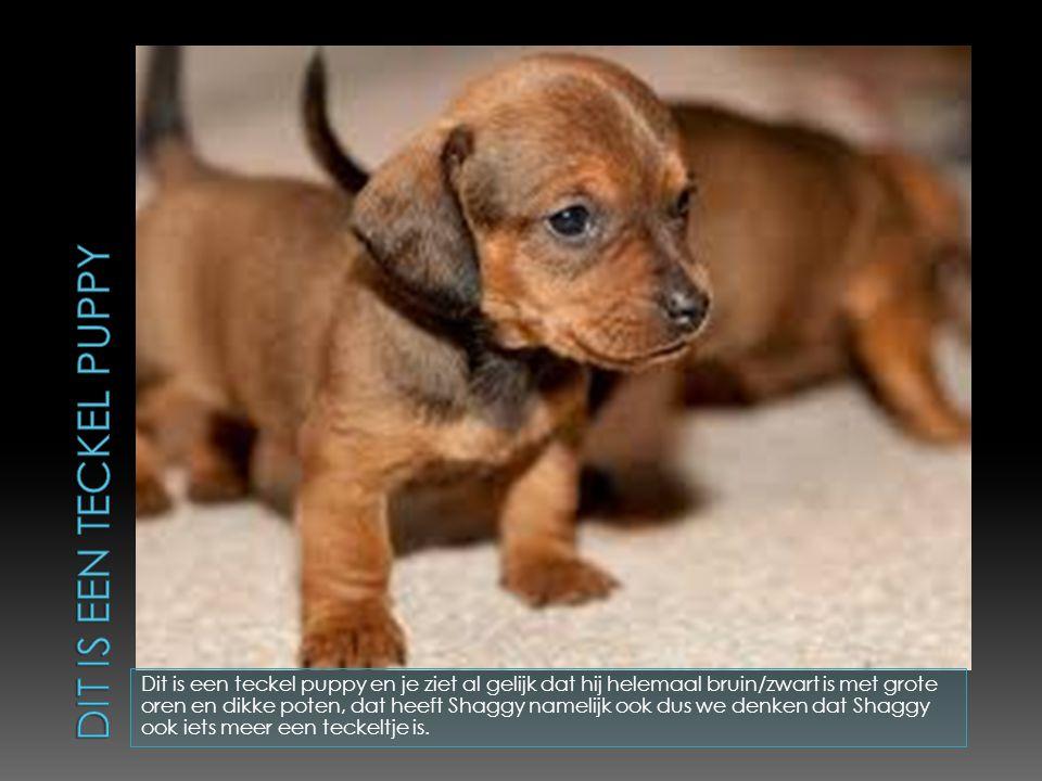 Dit is een teckel puppy en je ziet al gelijk dat hij helemaal bruin/zwart is met grote oren en dikke poten, dat heeft Shaggy namelijk ook dus we denken dat Shaggy ook iets meer een teckeltje is.
