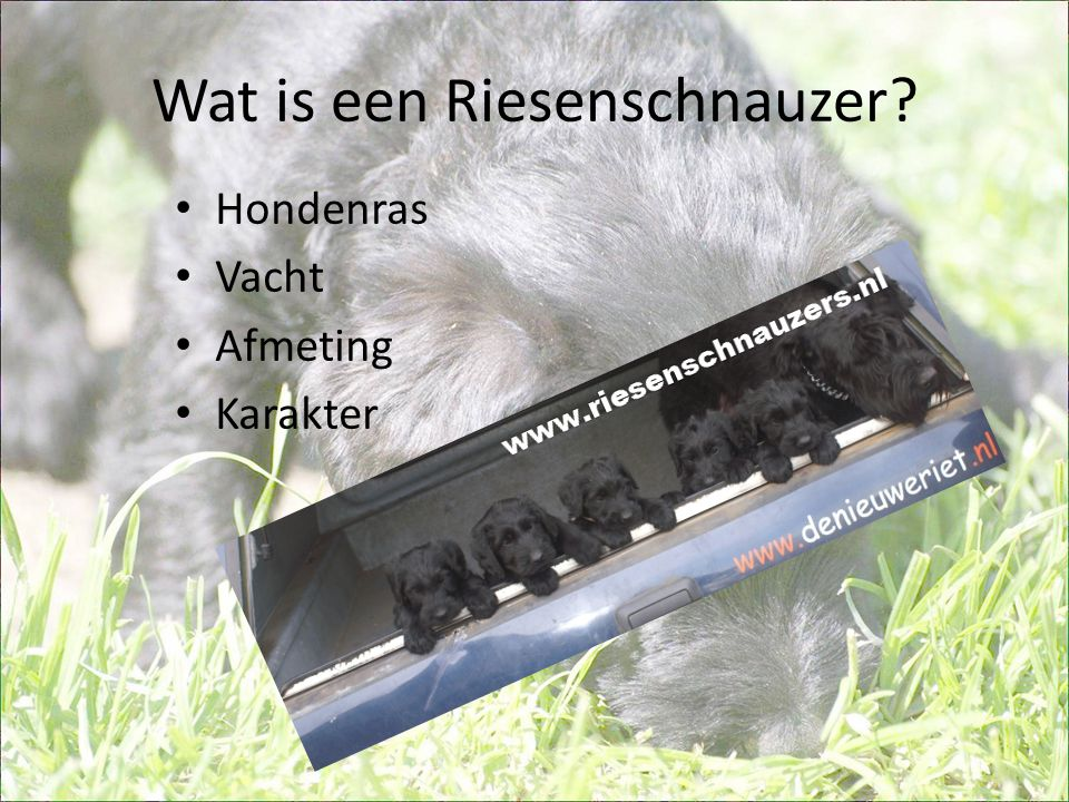 Verschillende soorten Schnauzers • Riesenschnauzer • Middenslagschnauzer • Dwergschnauzer