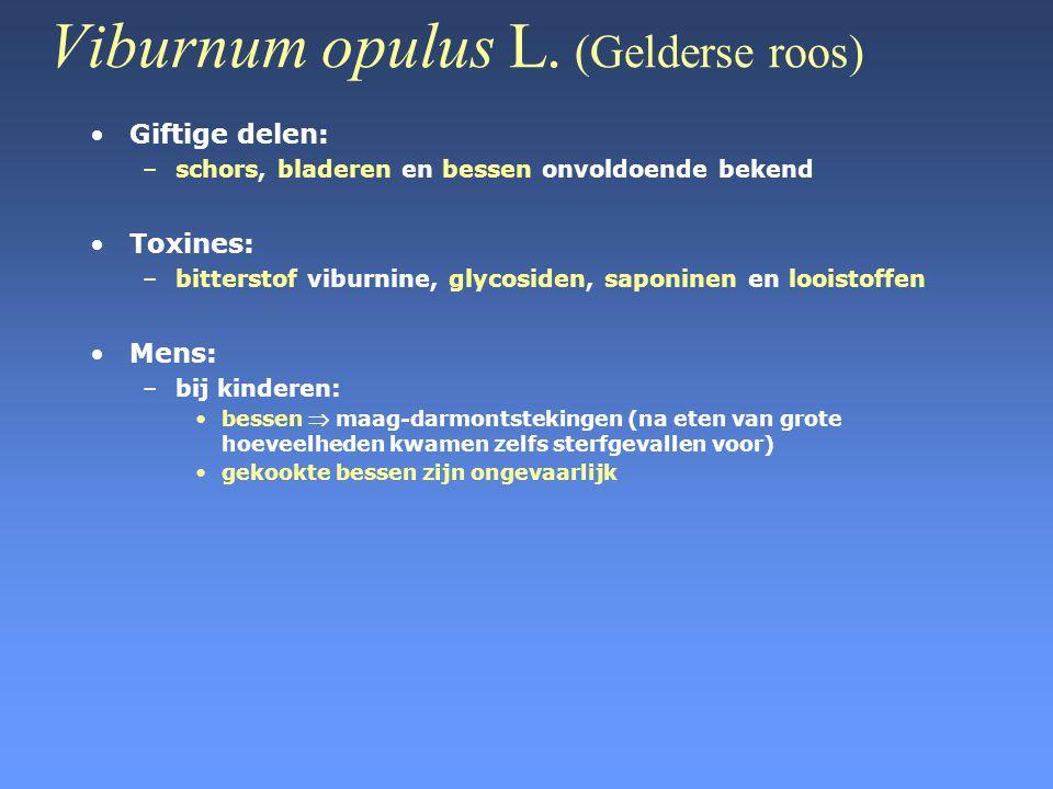 Viburnum opulus L. (Gelderse roos) •Giftige delen: –schors, bladeren en bessen onvoldoende bekend •Toxines: –bitterstof viburnine, glycosiden, saponin