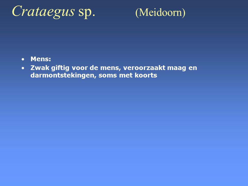 Crataegus sp. (Meidoorn) •Mens: •Zwak giftig voor de mens, veroorzaakt maag en darmontstekingen, soms met koorts