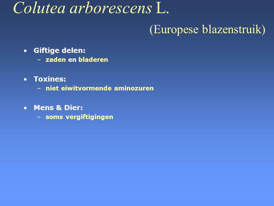 Colutea arborescens L. (Europese blazenstruik) •Giftige delen: –zaden en bladeren •Toxines: –niet eiwitvormende aminozuren •Mens & Dier: –soms vergift