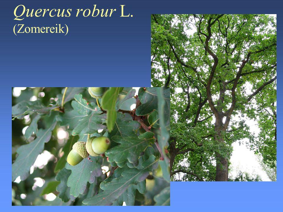Quercus robur L. (Zomereik)
