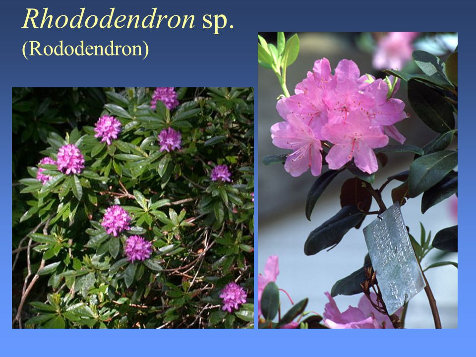 Rhododendron sp. (Rododendron)