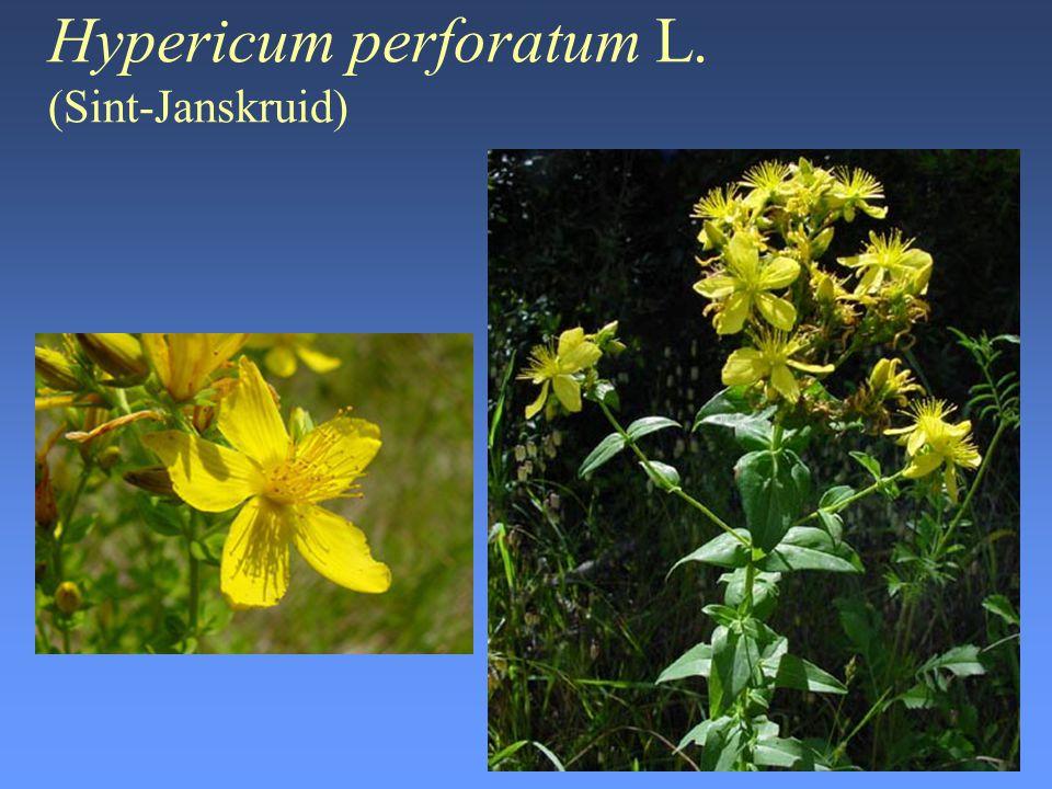 Hypericum perforatum L. (Sint-Janskruid)