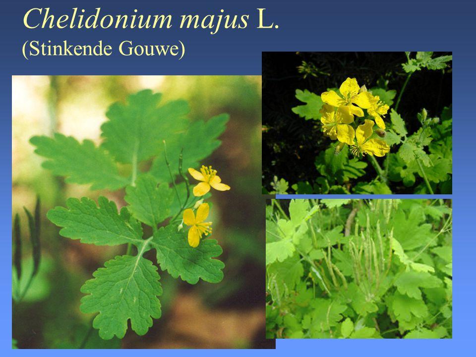 Chelidonium majus L. (Stinkende Gouwe)