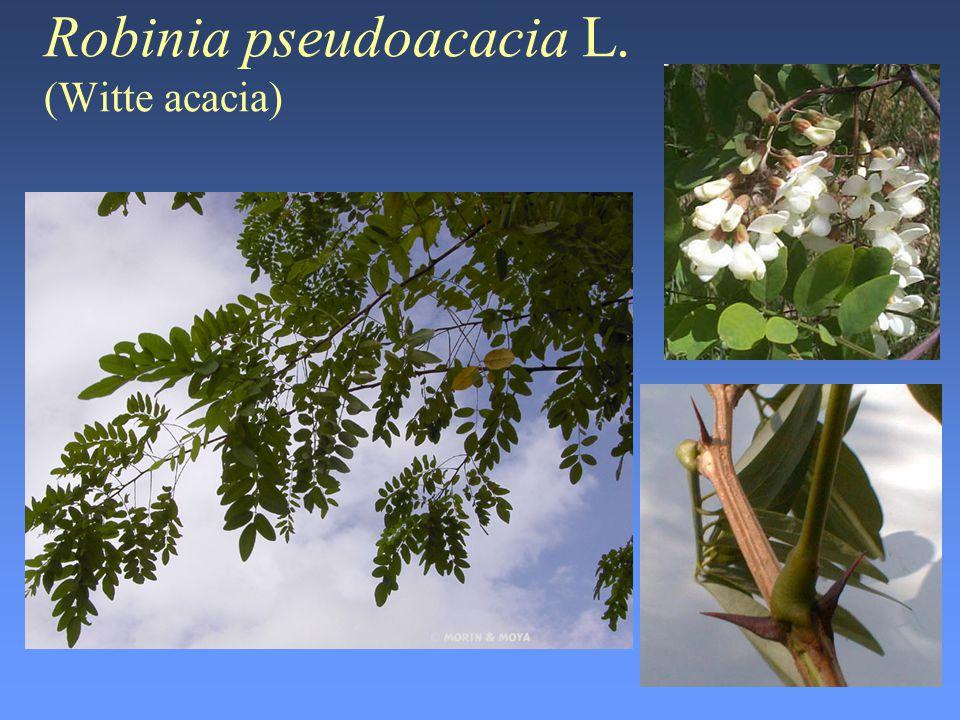 Urtica dioica L. (Brandnetel)