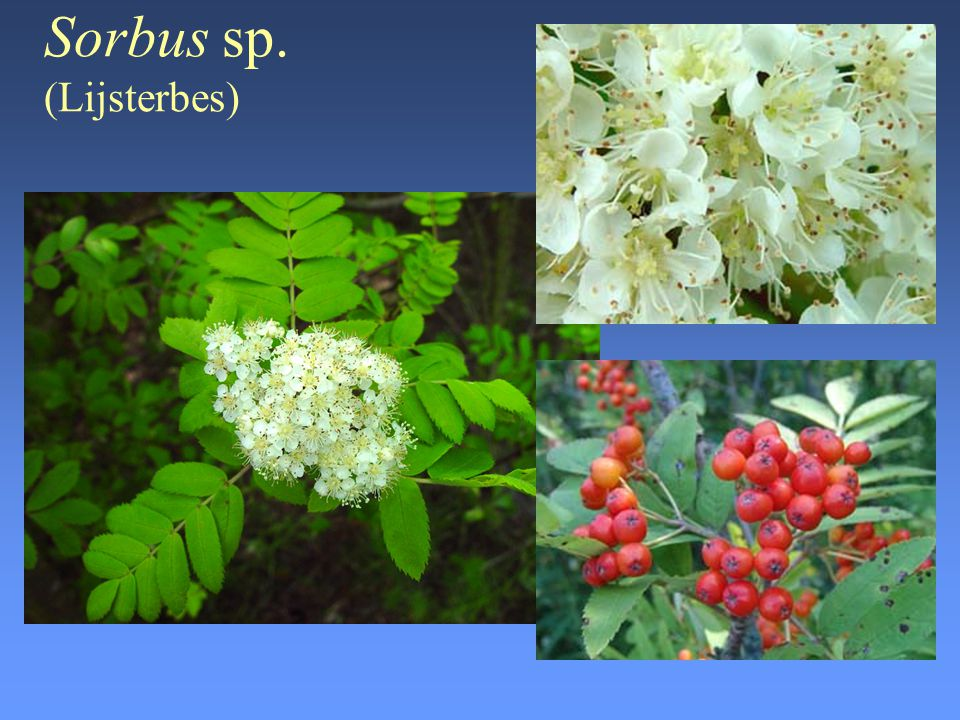Symphoricarpus albus S.F.