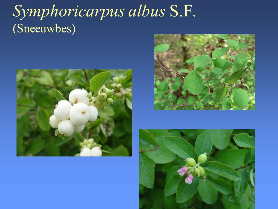 Tanacetum vulgare Bernh.(Boerenwormkruid) •Giftige delen: –vnl.