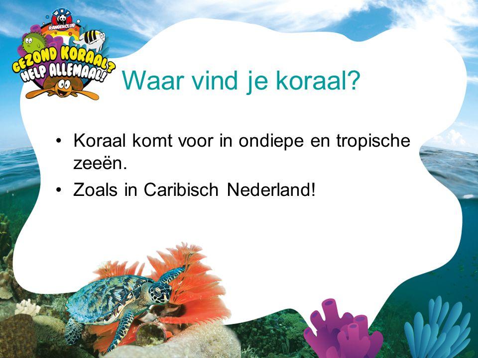 •Koraal komt voor in ondiepe en tropische zeeën. •Zoals in Caribisch Nederland! Waar vind je koraal?