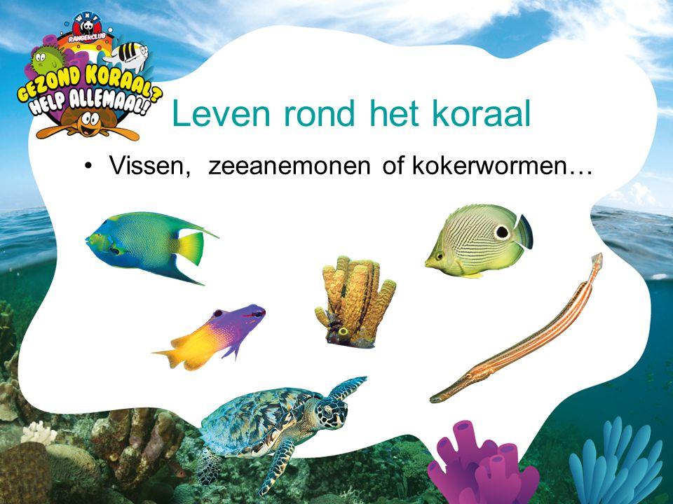 •Vissen, zeeanemonen of kokerwormen… Leven rond het koraal