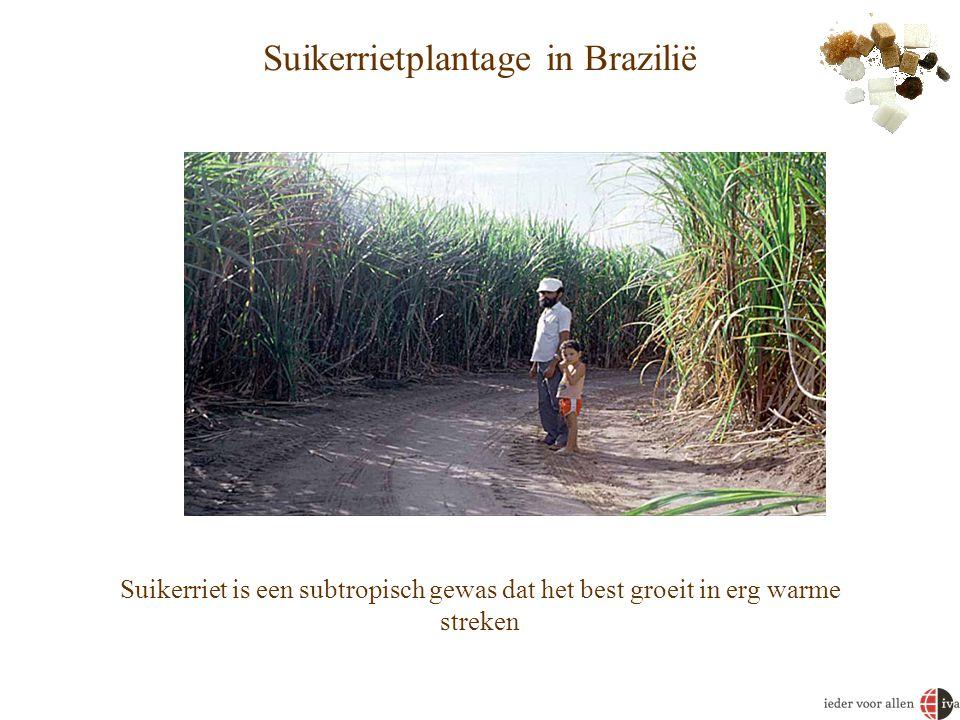 Suikerrietplantage in Brazilië Suikerriet is een subtropisch gewas dat het best groeit in erg warme streken