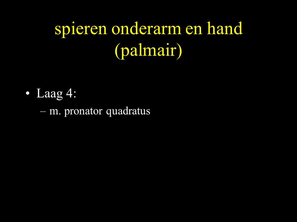 spieren onderarm en hand (palmair) •Laag 4: –m. pronator quadratus
