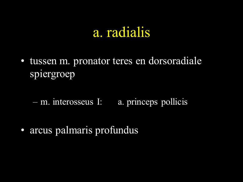 a.radialis •tussen m. pronator teres en dorsoradiale spiergroep –m.